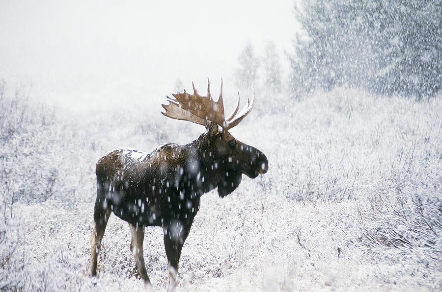 Bull Moose In Snow Photograph By Ken M Johns