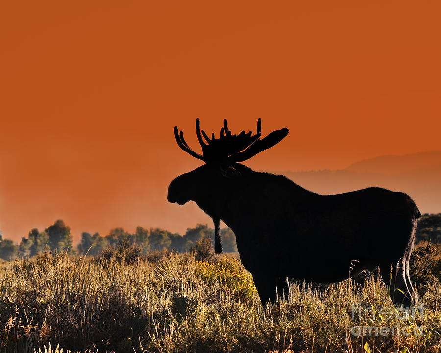 Moose Photograph - Bull Moose Sunset by Timothy Flanigan and Debbie Flanigan Nature Exposure