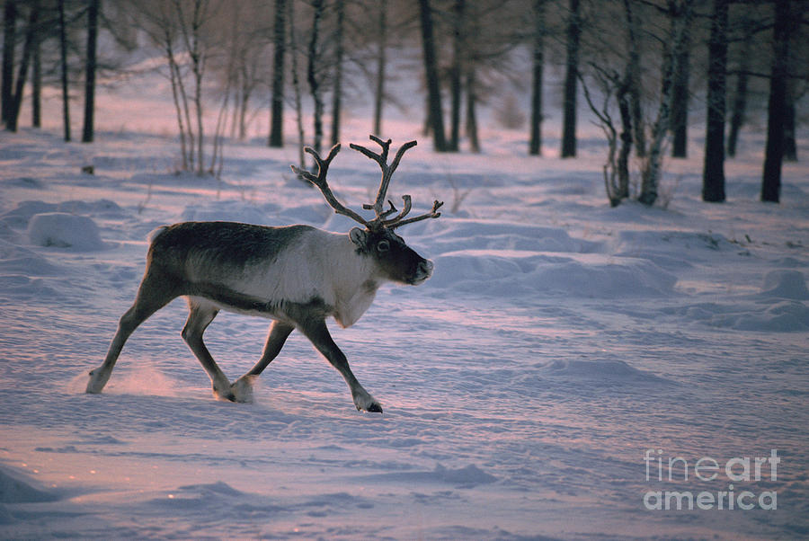 Animal Photograph - Bull Reindeer In  Siberia by Bryan and Cherry Alexander
