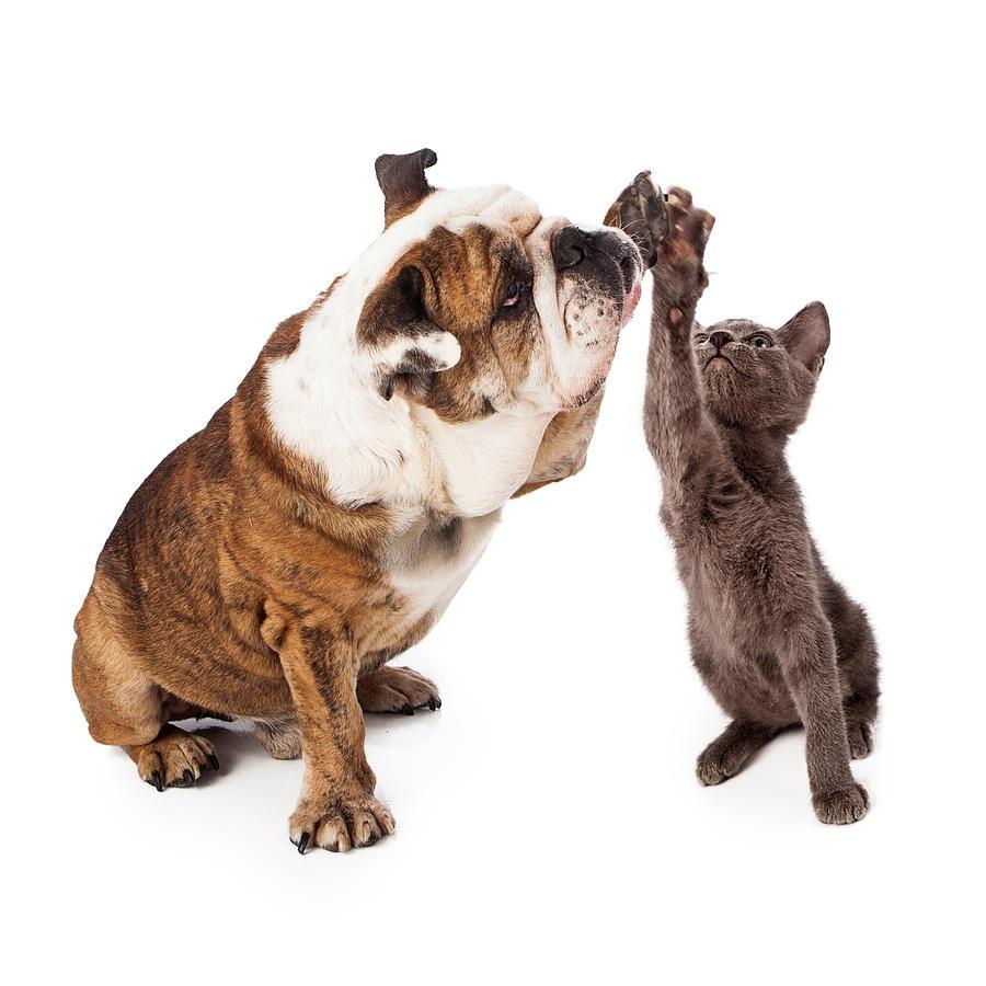 Animal Photograph - Bulldog And Kitten High Five  by Susan Schmitz