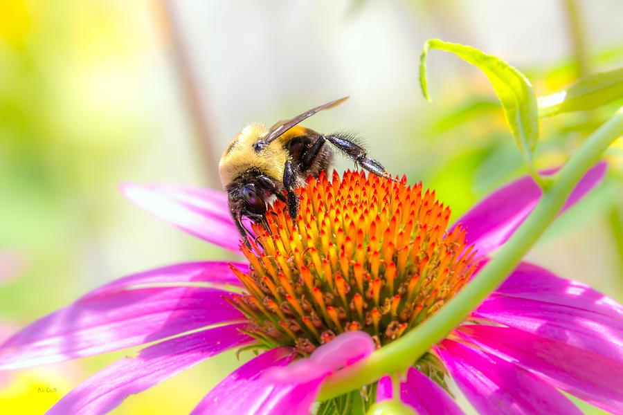 Bees Photograph - Bumble Bee by Bob Orsillo