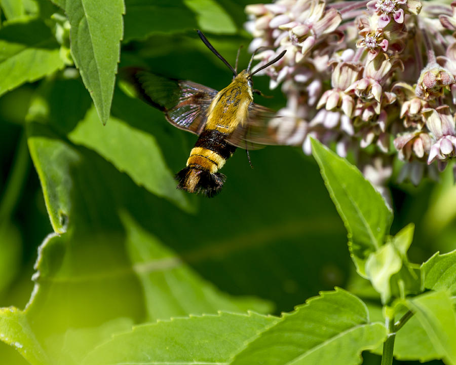 Bumble Bee Moth Photograph