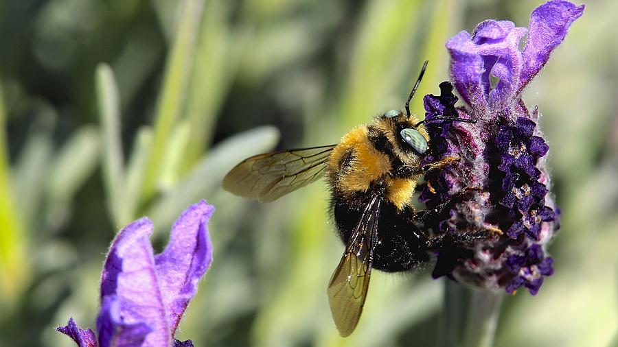 Bumble Bee Photograph