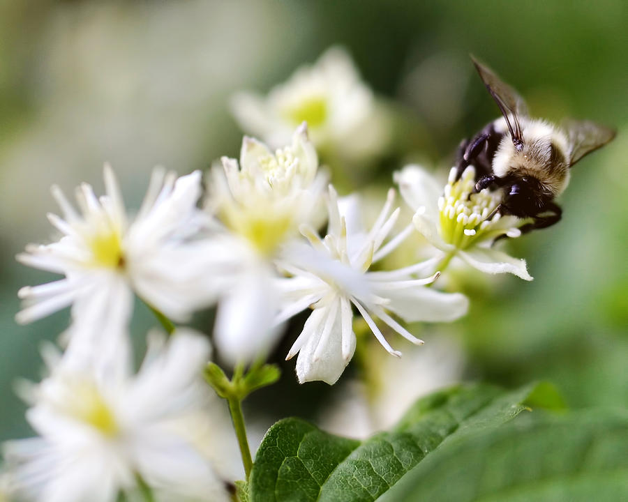 Flower Photograph - Bumble Bee On Clematis by Ginger Wagner