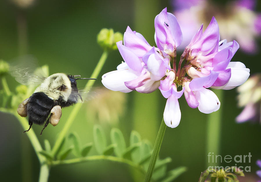 Canon Photograph - Bumble Bee With Pollen Basket by Ricky L Jones