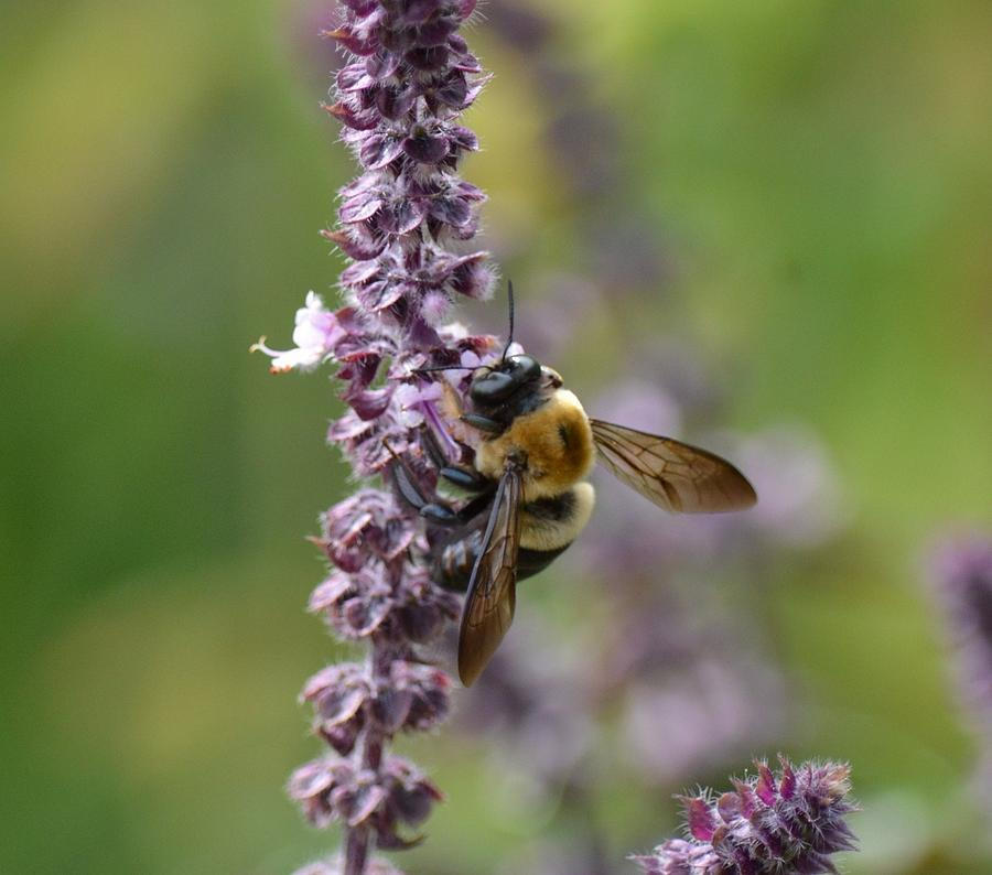Purple Sage Photograph - Bumble On Sage by Maria Urso