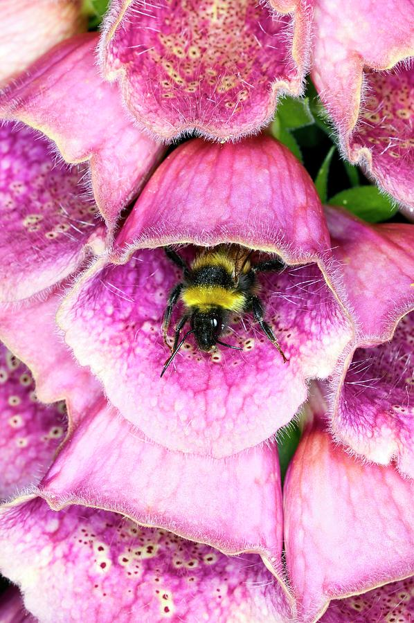 Bombus Lucorum Photograph - Bumblebee And Foxglove Hybrid by Dr Jeremy Burgess/science Photo Library