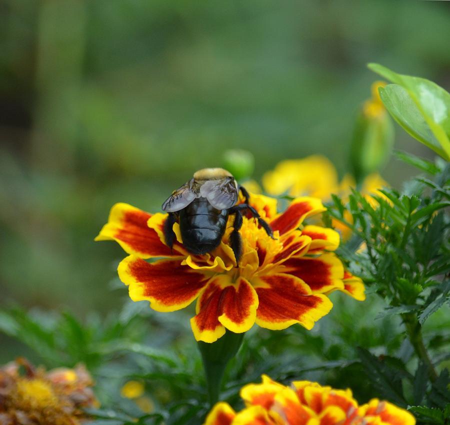 Marigold Photograph - Bumblebee On Marigold by Maria Urso