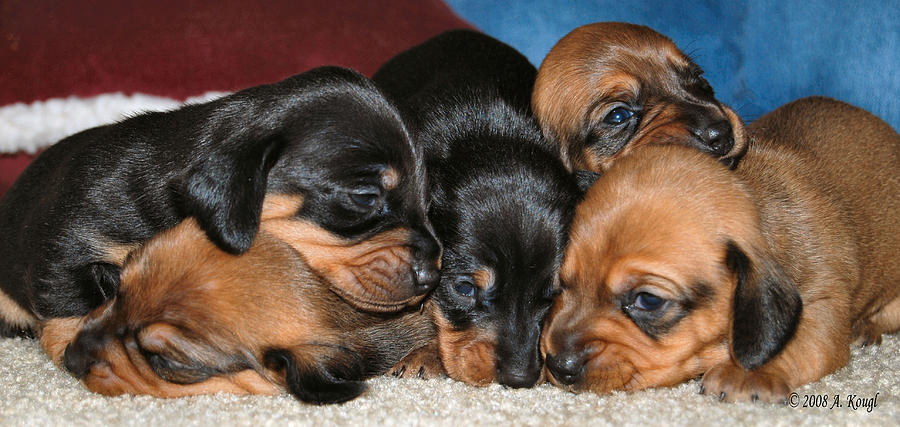 Dachshunds Photograph - Bunch Of Puppies by Anthony Kougl