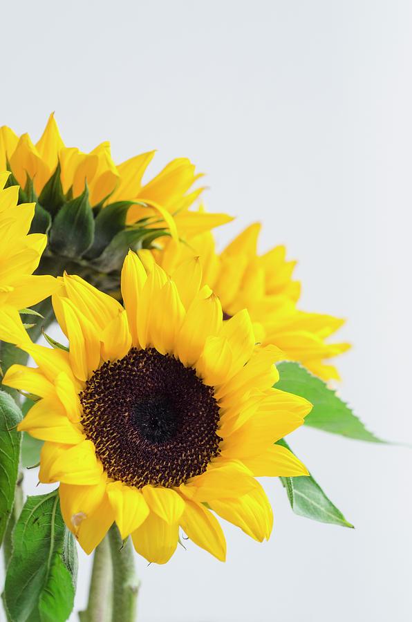 Bunch Of Sunflowers Photograph by Antonio Rosario