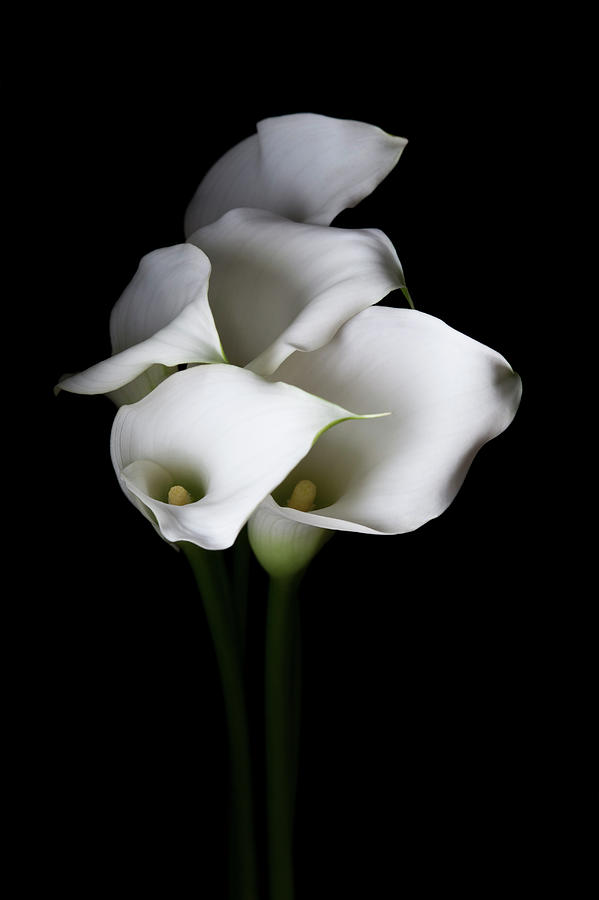 Bunch Of White Calla Lily Flowers By Kristin Duvall