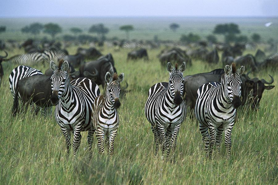 Burchells Zebras And Wildebeest Photograph by Konrad Wothe