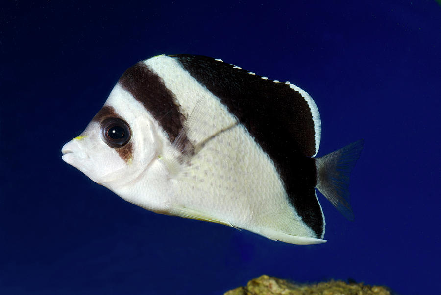 Nobody Photograph - Burgess Butterflyfish by Nigel Downer