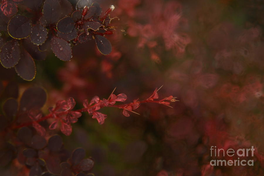 Red Photograph - Burgundy Branch by Jennifer Apffel