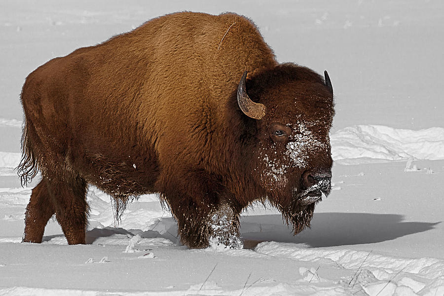 Bison Photograph - Burly Bison by Priscilla Burgers