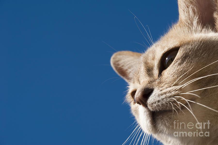 Animal Photograph - Burmilla Nose by Anne Gilbert
