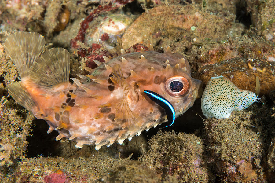 Tropical Photograph - Burrfish And Cleaner Goby by Andrew J. Martinez