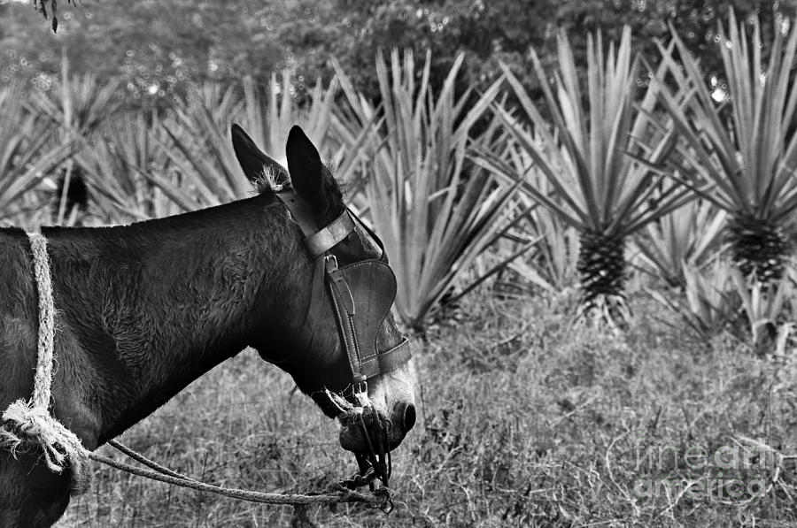 Burro Photograph - Burro Y Agaves by Kristine Celorio