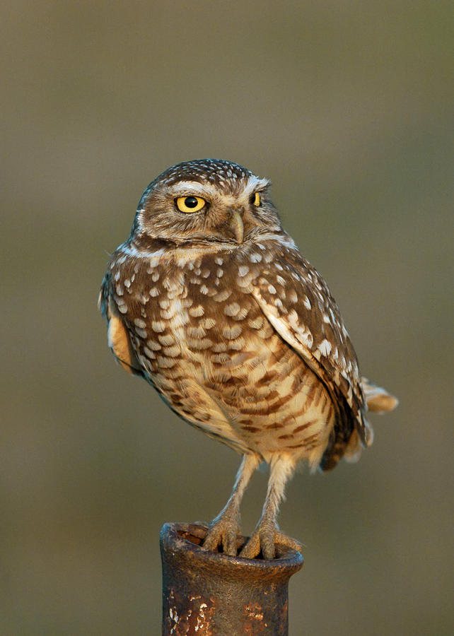 Birds Photograph - Burrowing Owl at Sunset by Doug Herr