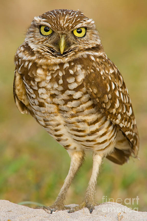 Birds Photograph - Burrowing Owl by Jerry Fornarotto