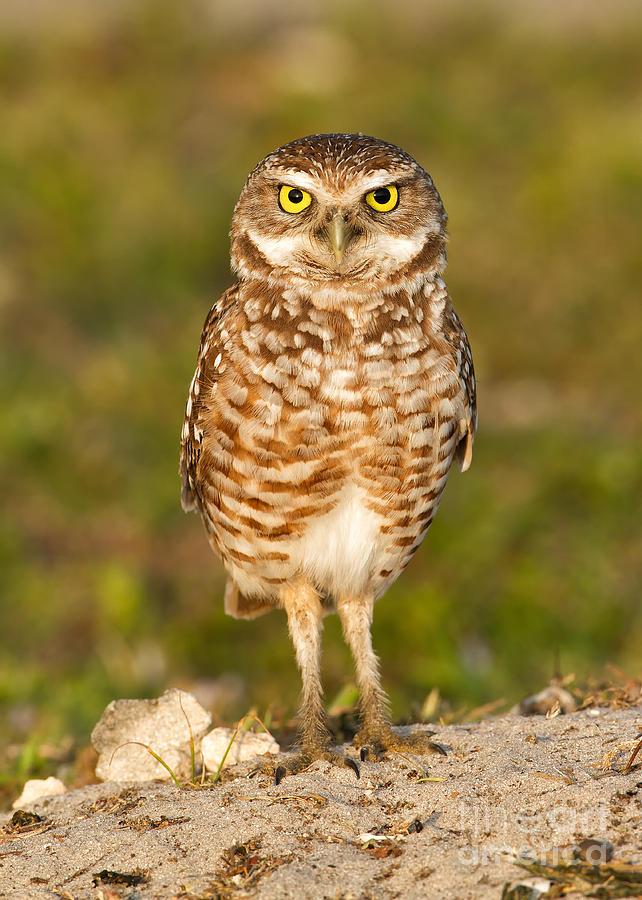 Owl Photograph - Burrowing Owl by Joshua Clark
