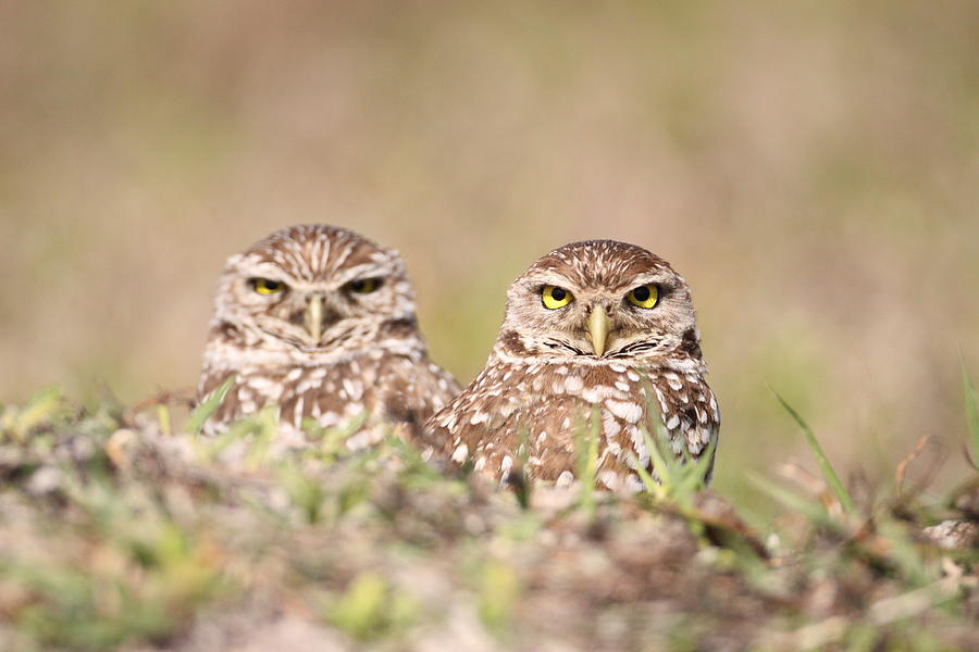 Burrowing Photograph - Burrowing Owl Pair by Brian Magnier