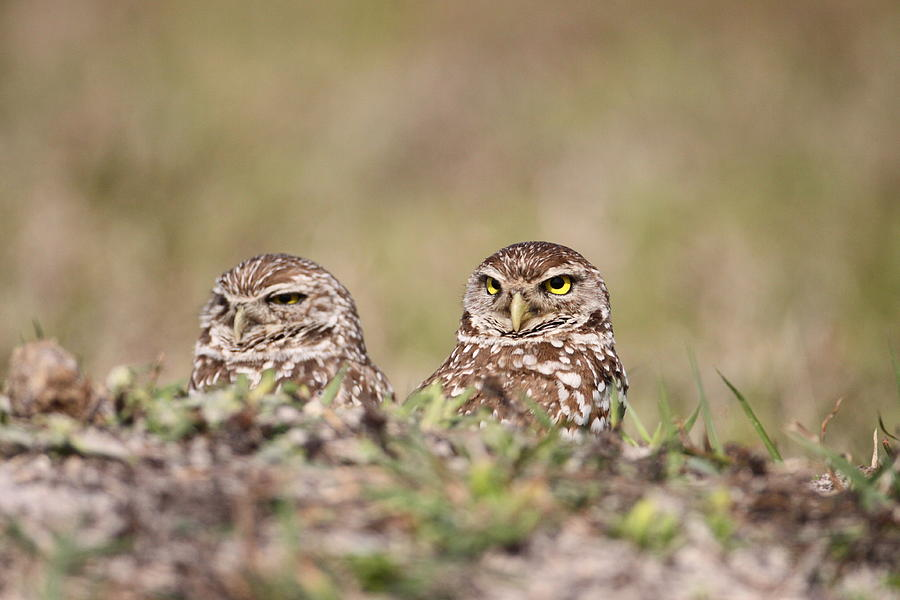 Burrowing Photograph - Burrowing Owls by Brian Magnier