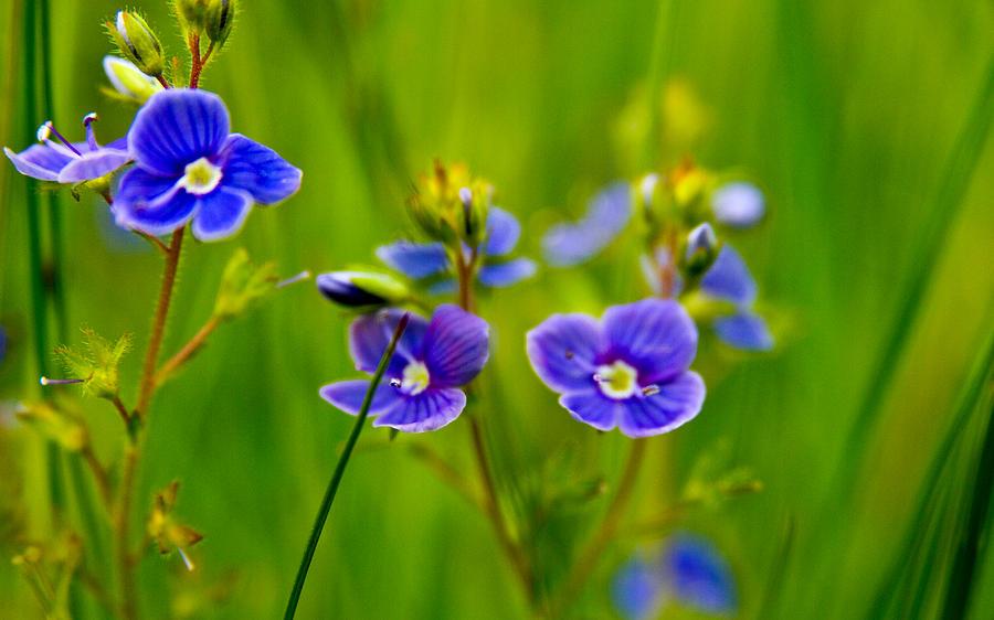Flower Photograph - Burst Of Blue by Kim Lagerhem