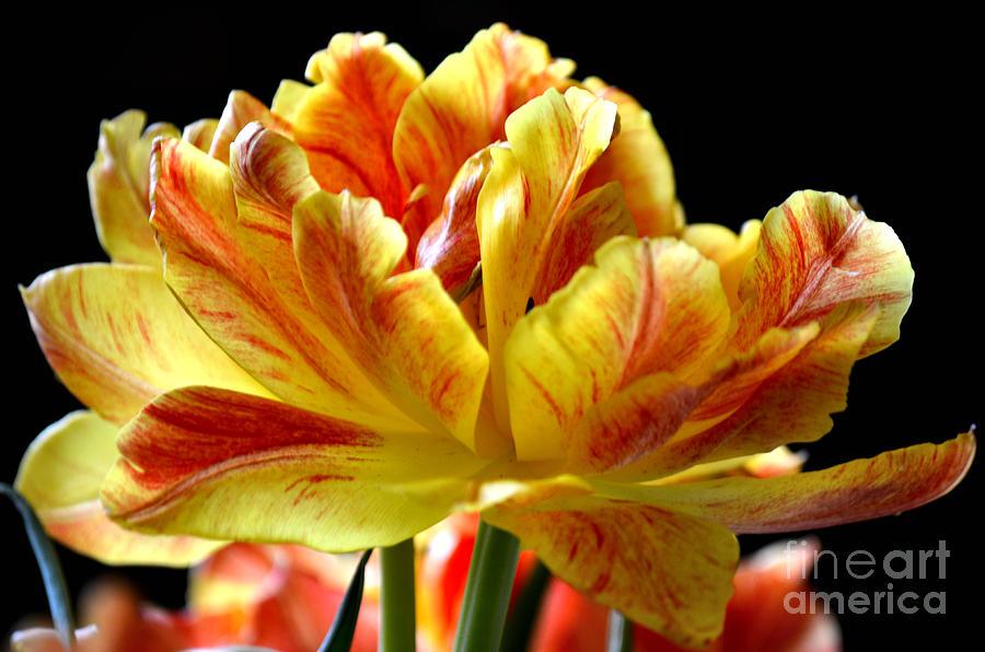 Tulip Photograph - Burst Of Color by Deb Halloran