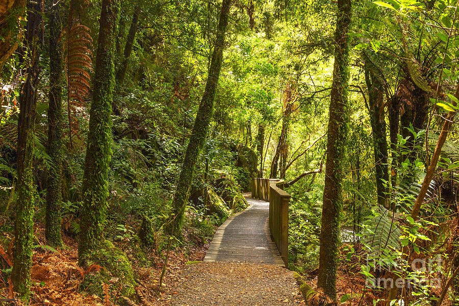Forest Photograph - Bush Pathway Waikato New Zealand by Colin and Linda McKie