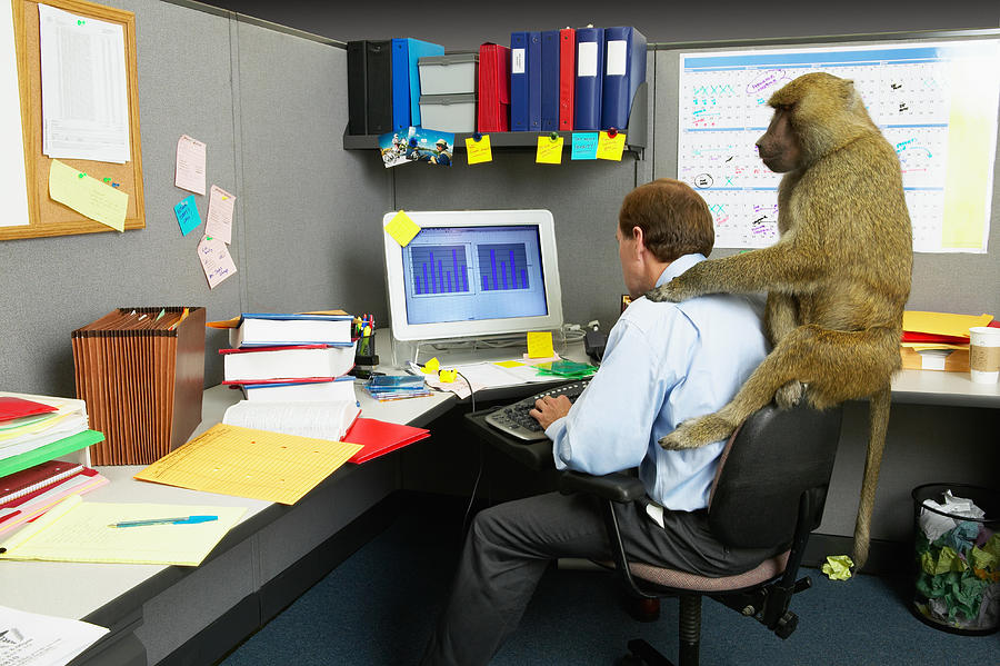 Businessman woking on computer at desk, baboon on back Photograph by John Lund