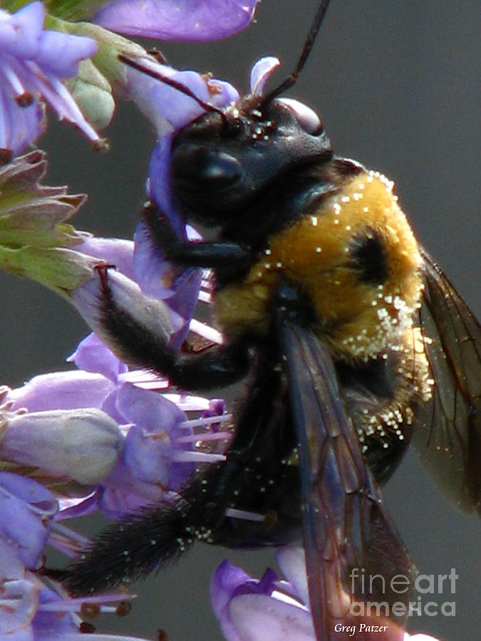 Patzer Photograph - Busy Bee by Greg Patzer