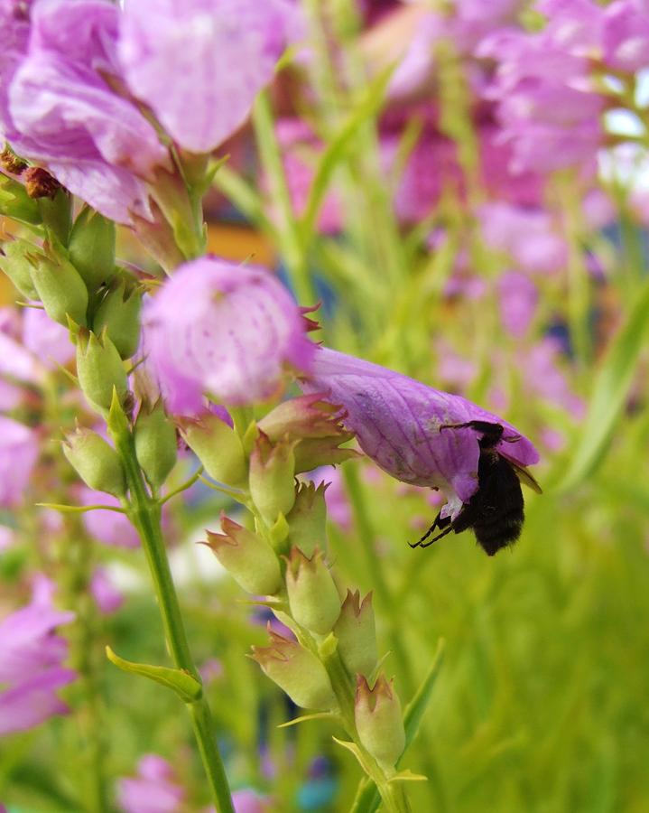 Bee Photograph - Busy Bee by Hayley Mattila