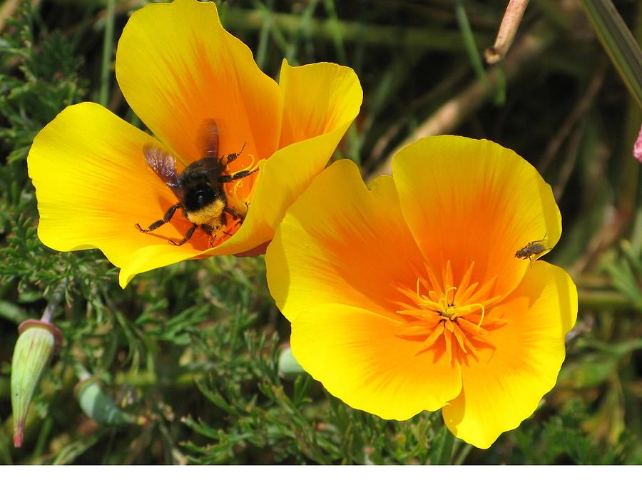 Bumble Bee Photograph - Busy Bee by Jill Bell