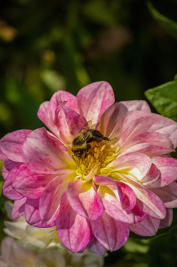 Bee Photograph - Busy Bee by Louis Rivera
