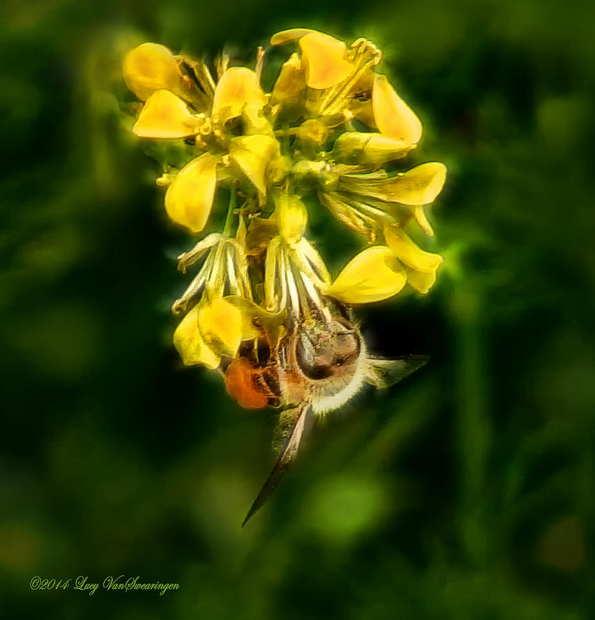 Bee Photograph - Busy Bee by Lucy VanSwearingen