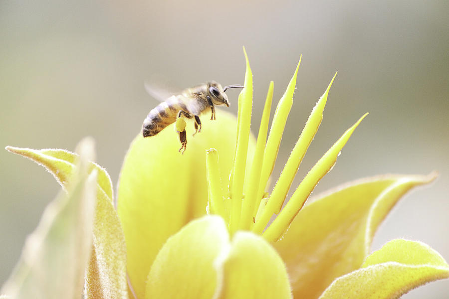 Bee Photograph - Busy Bee by Luna Curran