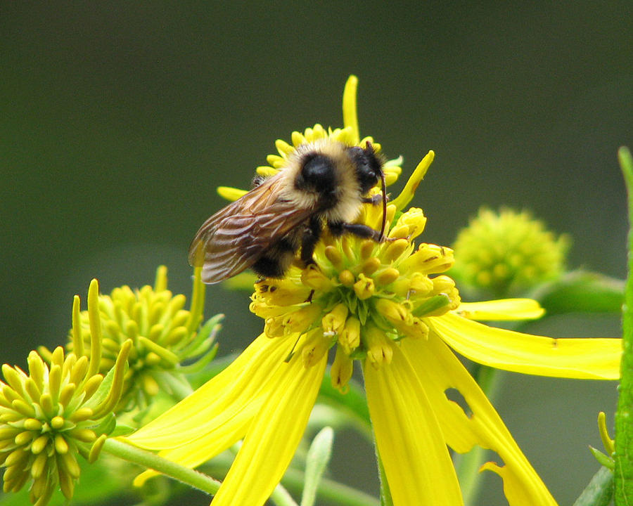 Photograph - Busy Bee by Lynn Berney