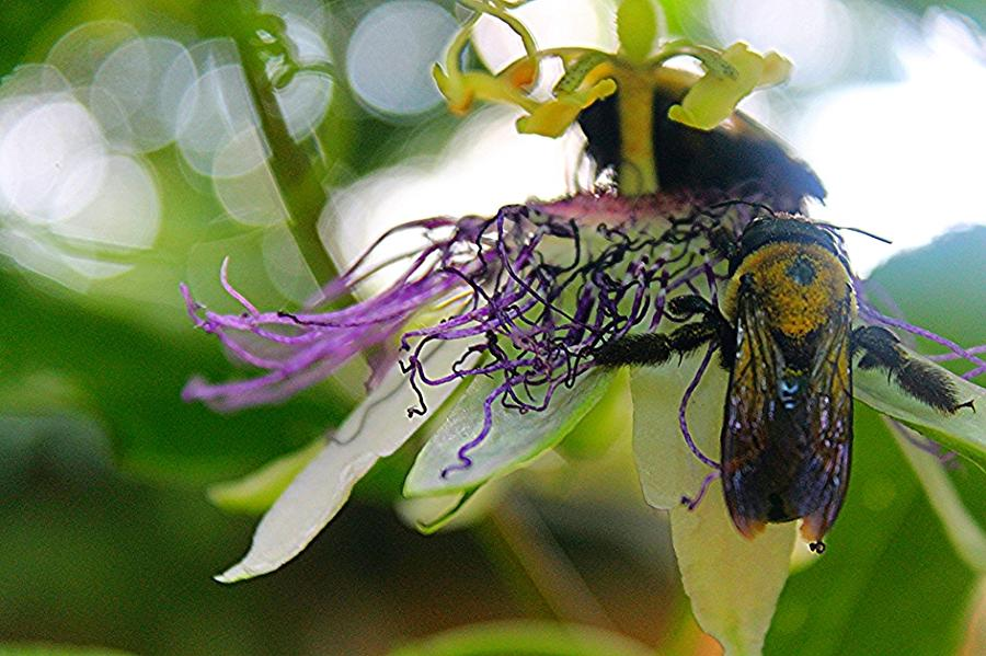 Insects Photograph - Busy Bees by Sarah E Kohara