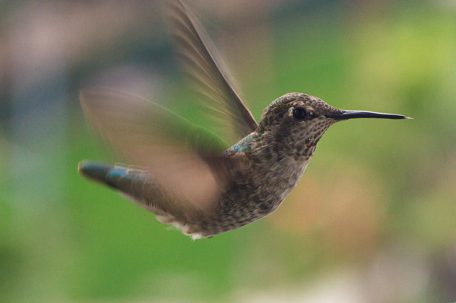 Busy Hummingbird by Dina Calvarese