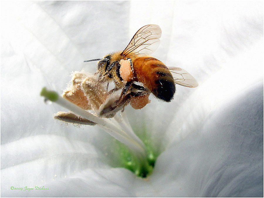 Bee Photograph - Busy by Joyce Dickens