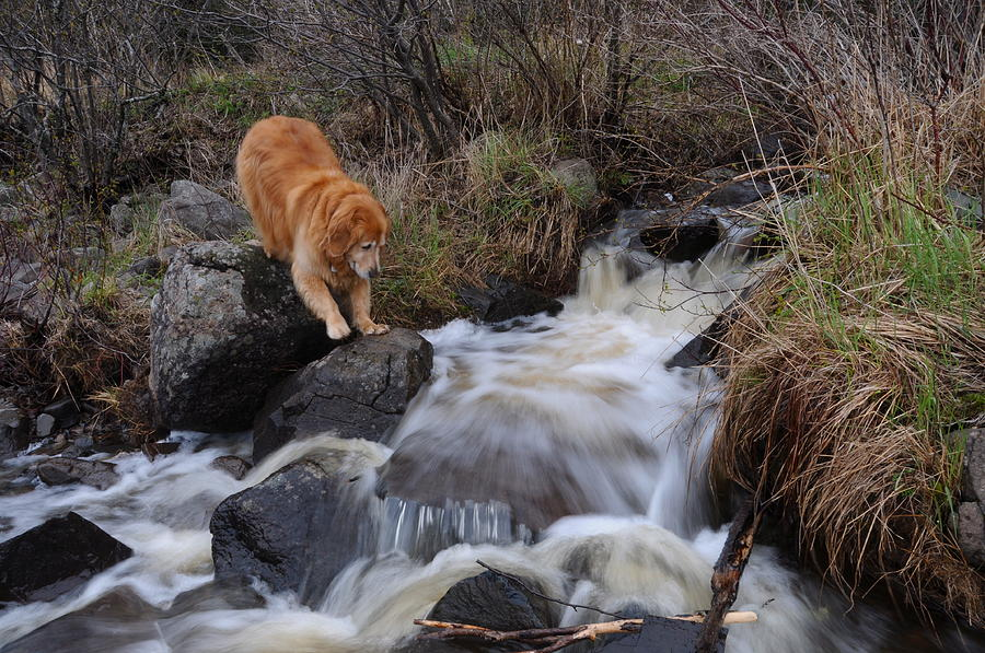 Golden Retriever Dog    Creek Flowing Into Lake Superior  Toby Photograph - But Mom I Might Get My Feet Wet by Sandra Updyke