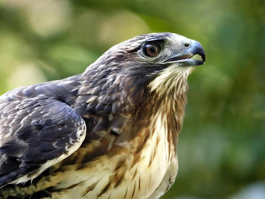 Hawk Photograph - Buteo Jamaicensis by Christina Rollo