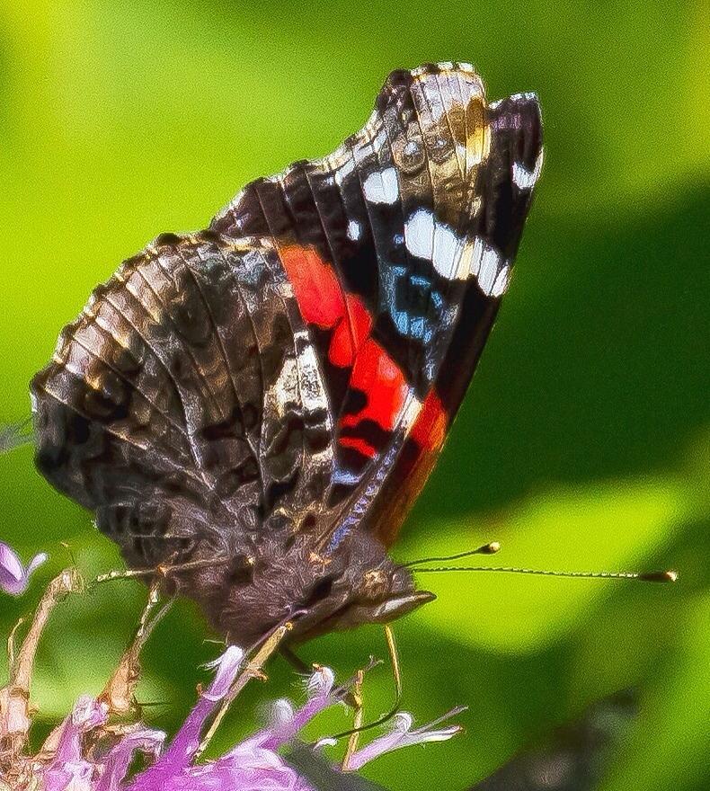 Buttafly Photograph