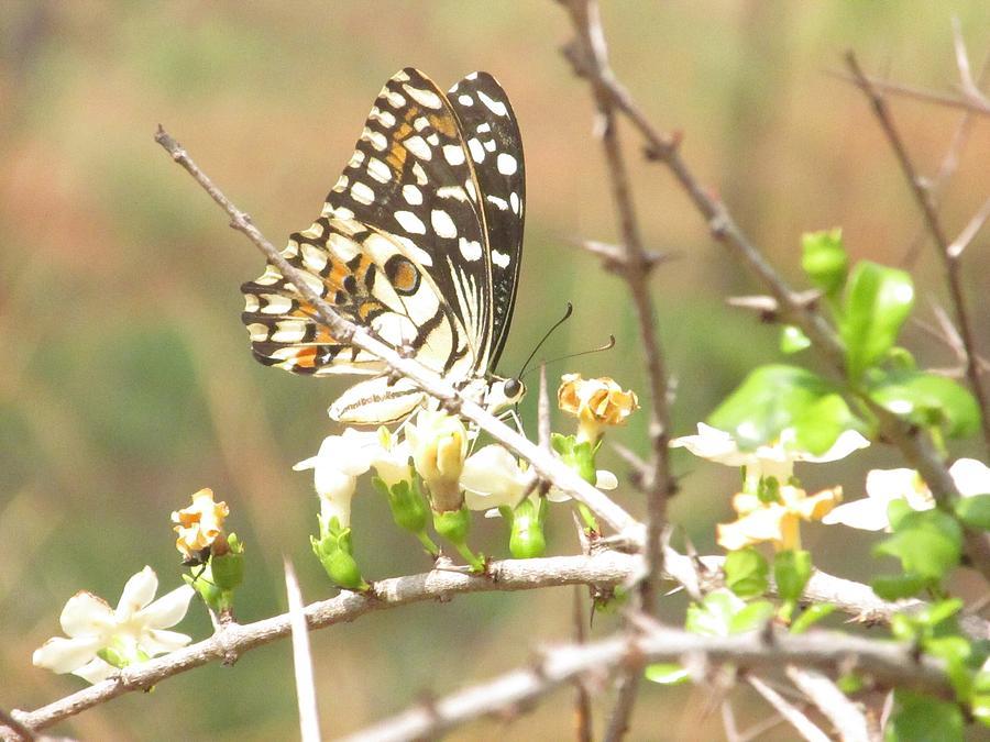 Butterfly Photograph - Butter Fly by Vinayak Patukale