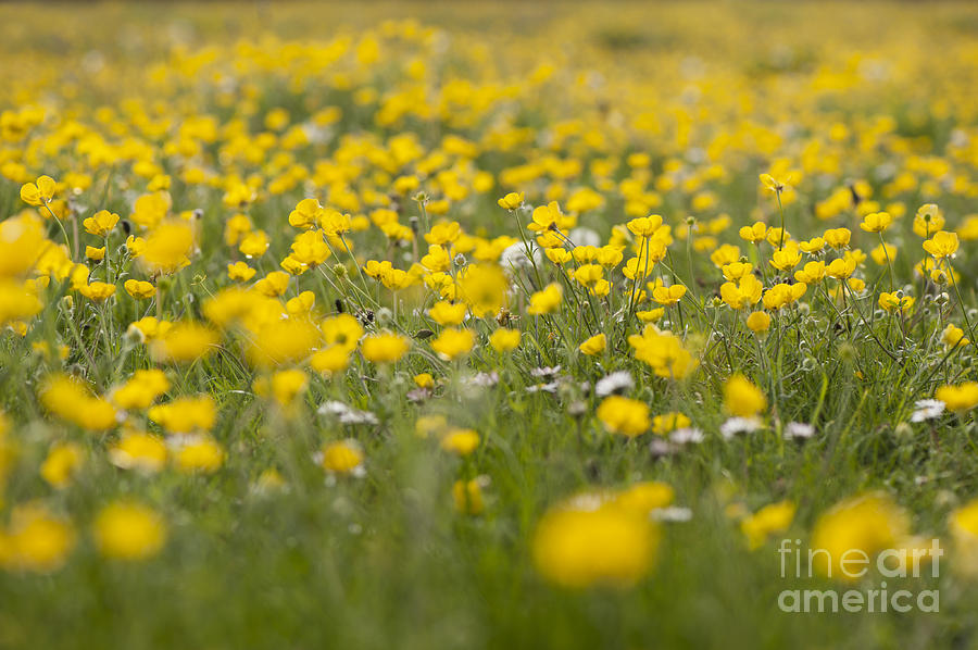 Anthonys Photograph - Buttercup Meadow by Anne Gilbert