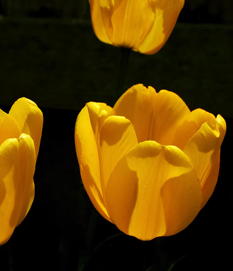 Tulips Photograph - Buttercup Tulips by Steven Milner
