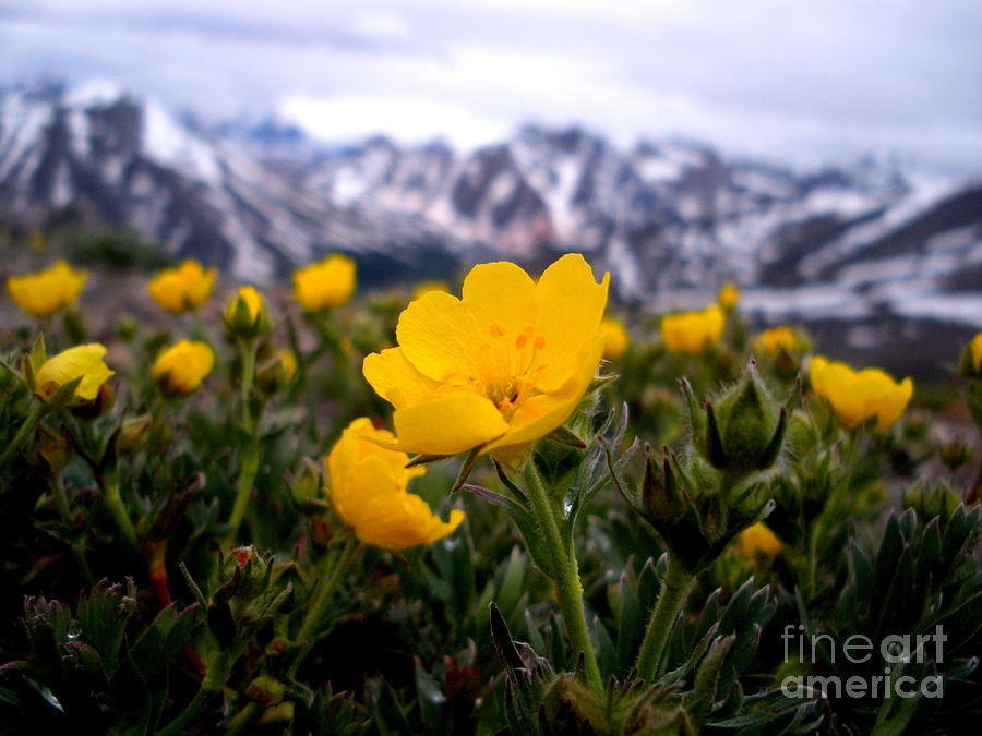 Buttercup Photograph - Buttercups by Sophia Elisseeva