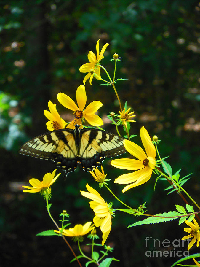 Monarch Photograph - Buttered Up by Beebe  Barksdale-Bruner