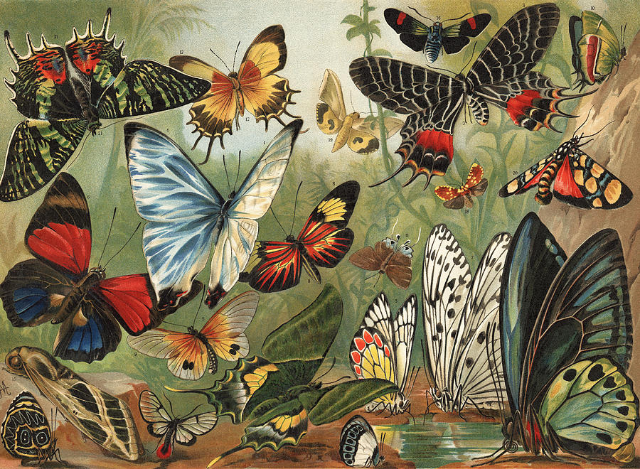 Chromolithography Painting - Butterflies 2 by Mutzel